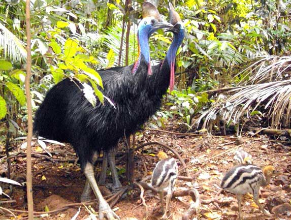cassowaries and chicks at Rainforest Hideaway in Cape Tribulation