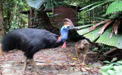 Cassowary in the Daintree National Park