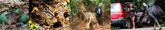 the different stages of life of a cassowary