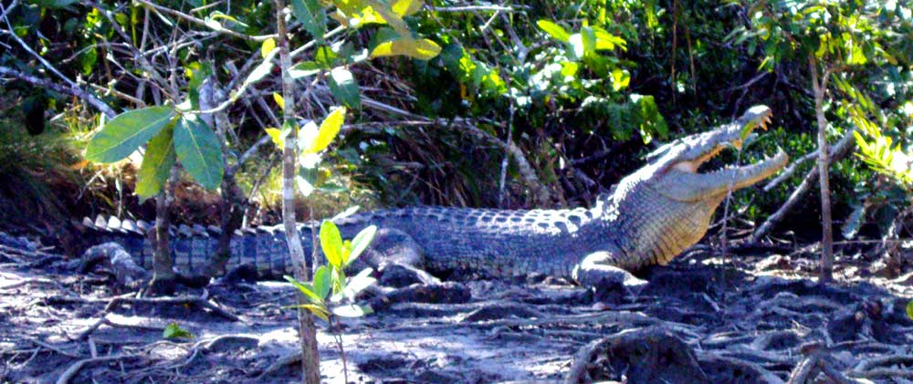 crocodile spotting in the Daintree