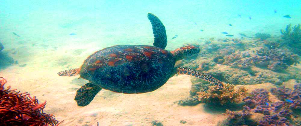 Swim with the sea turtles on the reef